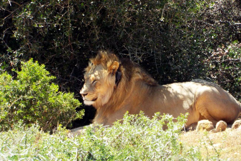 Afrique du Sud - parc Addo Elephant - lion