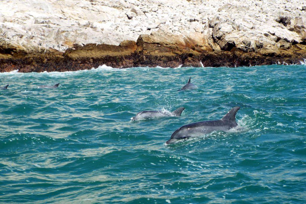 Afrique du Sud - Port Elizabeth - dauphins