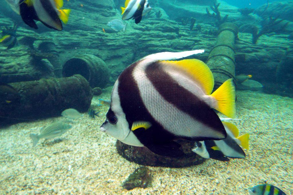 Afrique du Sud - Durban - poissons de l'Océan Indien dans l'aquarium uShaka