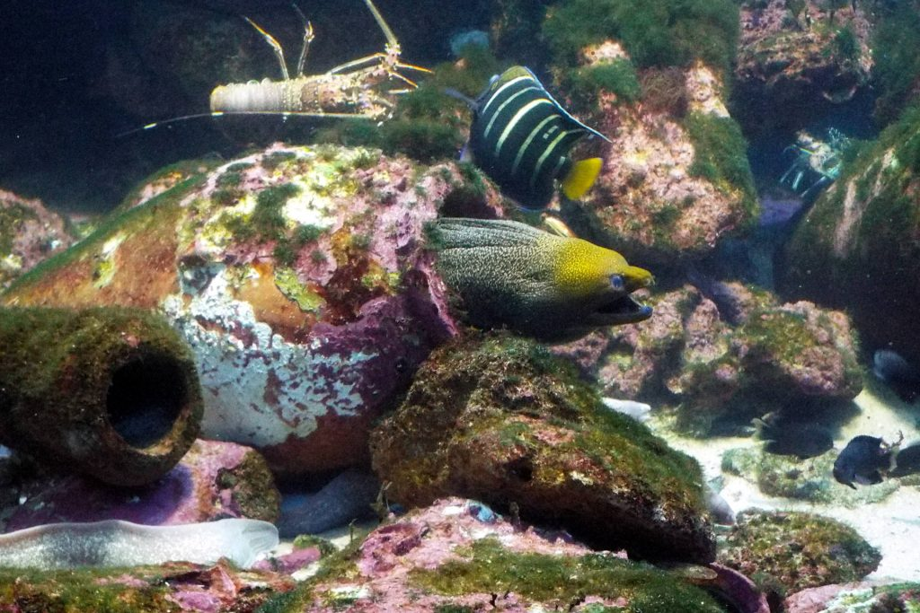 Afrique du Sud - Durban - murène dans l'aquarium uShaka