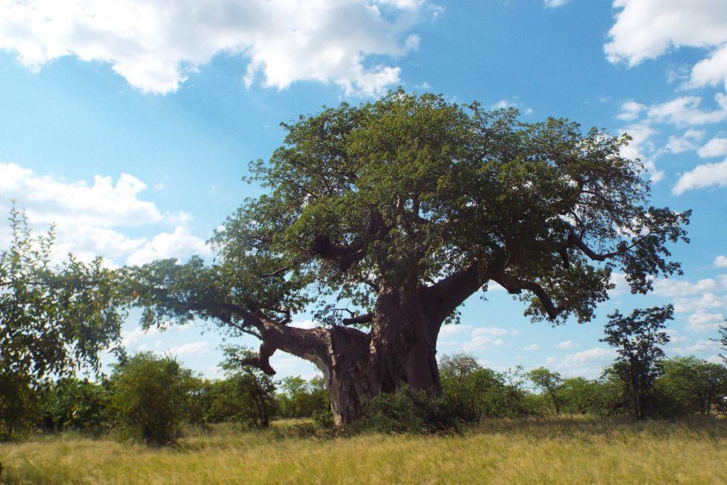 Afrique du Sud - Mapungubwe - arbre