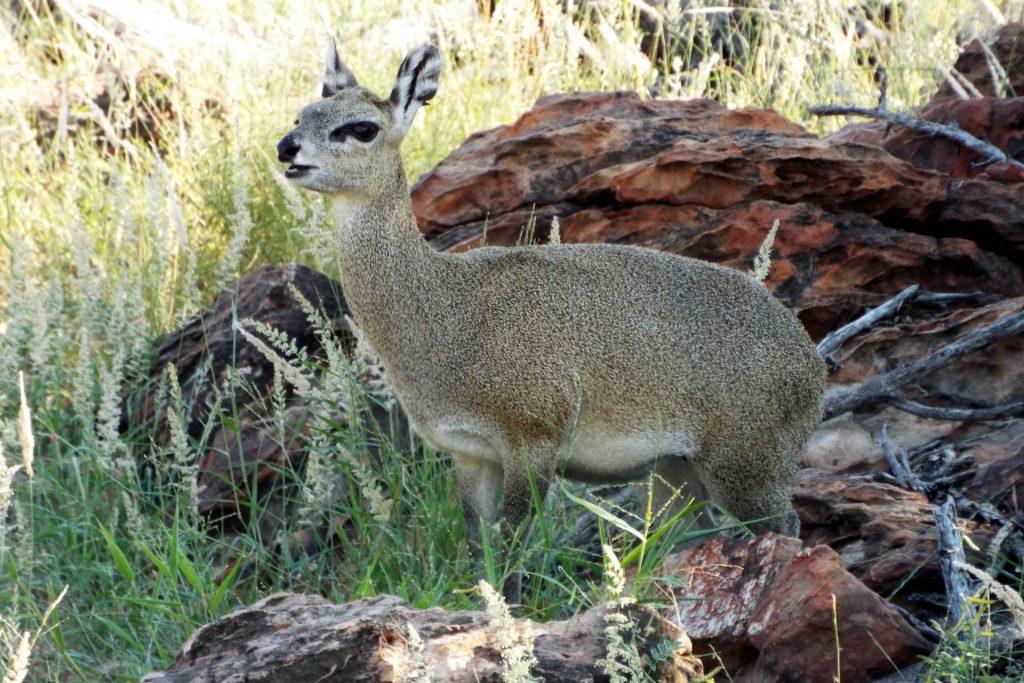 Afrique du Sud - Mapungubwe - Dik-Dik