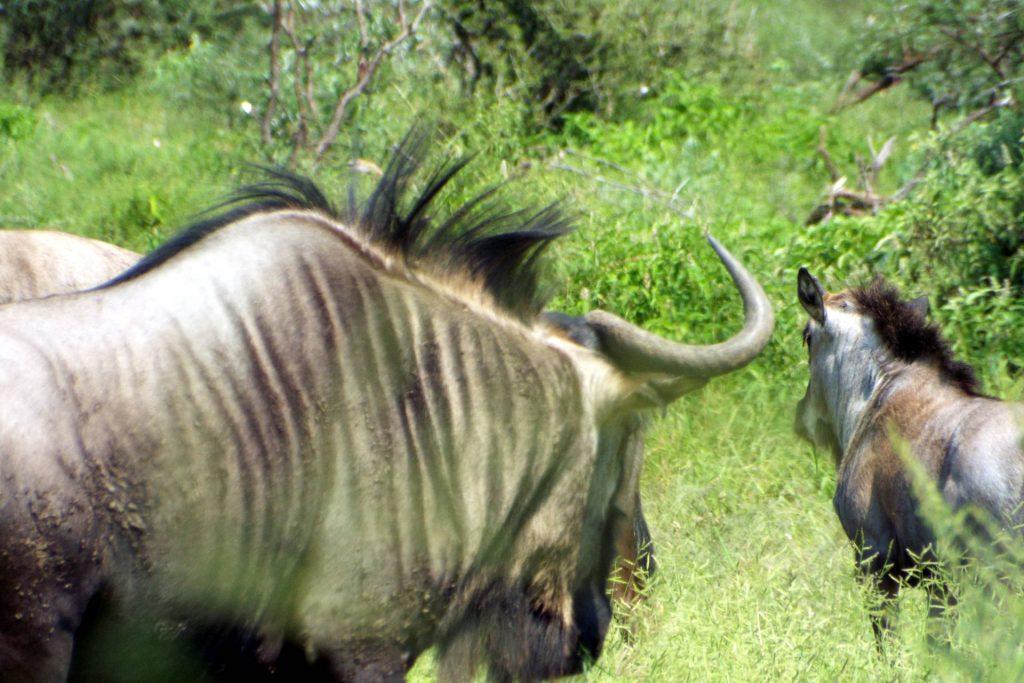 Afrique du Sud - Mapungubwe - gnous