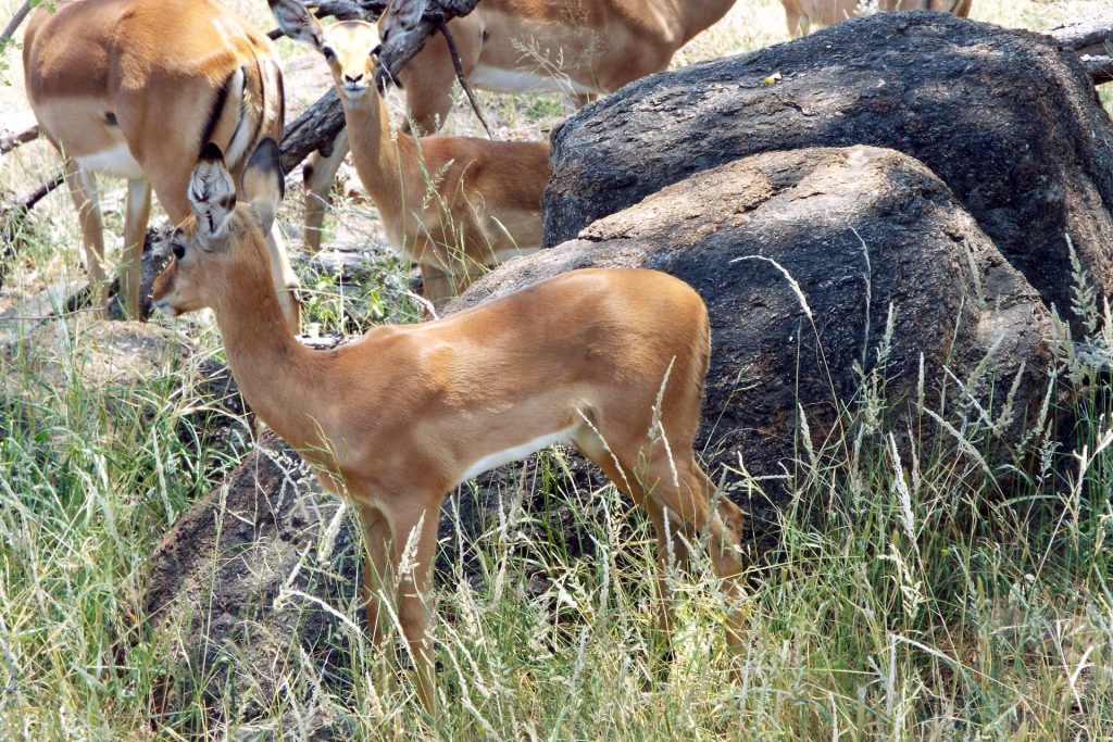 Afrique du Sud - Mapungubwe - Impalas