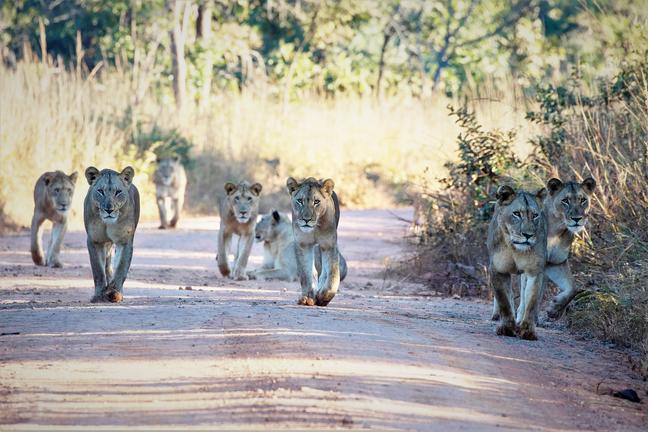 Zambie - groupe de lions