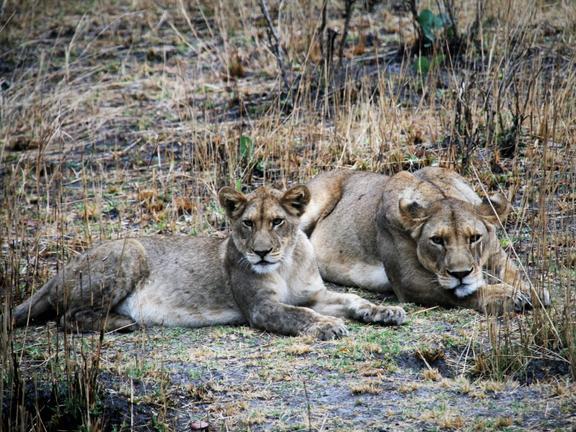 Zambie - lions