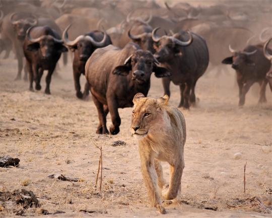 Zimbabwe - Lion et buffles