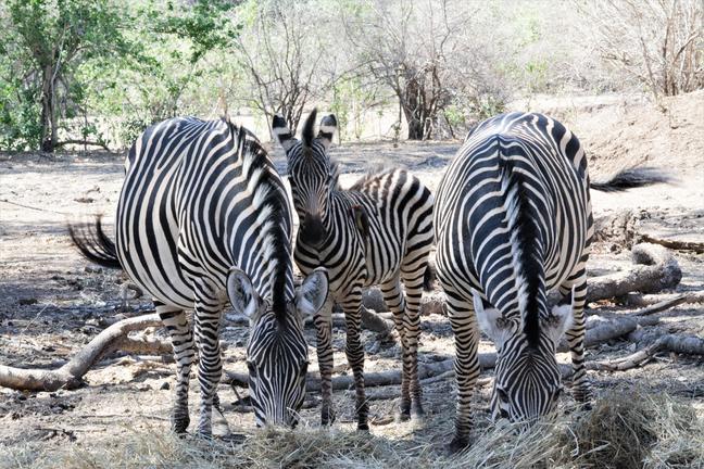 Zimbabwe - zèbres